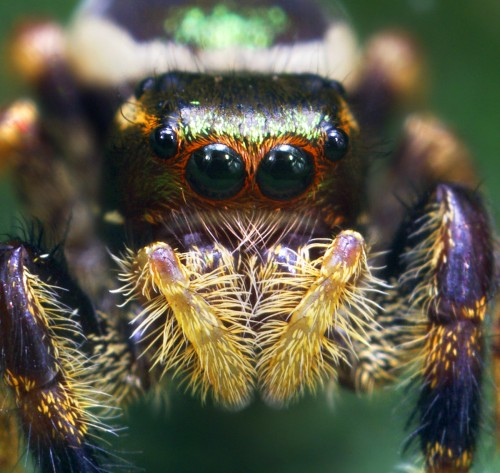 00698432619-UnknownColorfulJumpingSpider.jpg