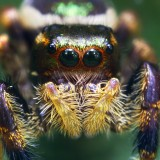 00698432619-UnknownColorfulJumpingSpider