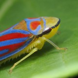 00698432681-ColorfulRed-BandedLeafHopperGraphocephalacoccinea