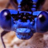 00708413518-BlueDamselflyFace-Argiasedula