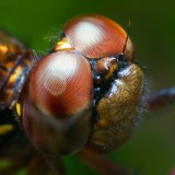 00779148137-DragonflyHead