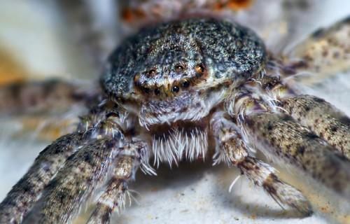 00840191627-RunningCrabSpiderFace-Philodromidae.jpg
