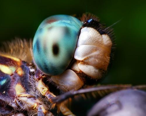 02616614450-DragonflyHead.jpg