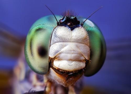 02708706846-BlueDasherPachydiplaxlongipennisDragonflyFace.jpg