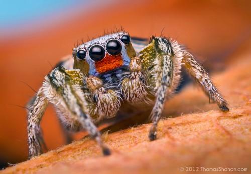 07458586256-MaleHabronattusvirgulatusJumpingSpider-Arizona.jpg