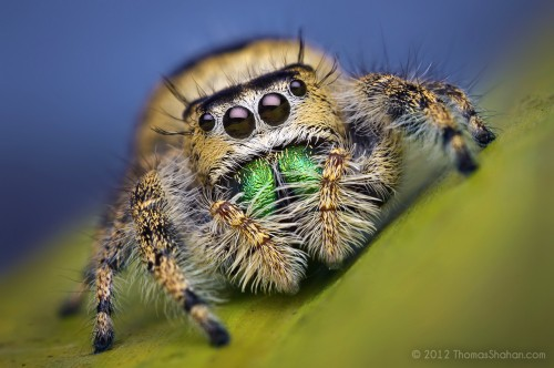 08541377002-FemaleJumpingSpider-Phidippusworkmani-Florida-BugshotWorkshop.jpg