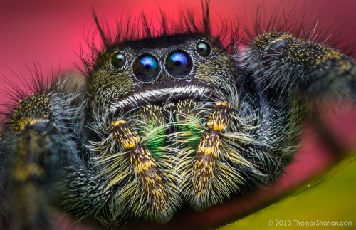 09695375060-Phidippusjohnsoni-AdultFemaleJumpingSpider-Oregon.jpg