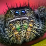 09695375060-Phidippusjohnsoni-AdultFemaleJumpingSpider-Oregon